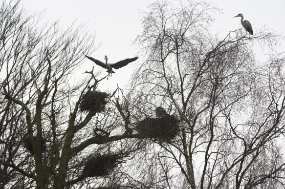 Blauwe reigers in nestboom.