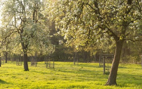 Bloeiende Hoogstamboomgaard.