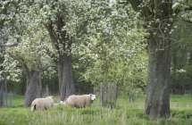 Bloeiende boomgaard.
