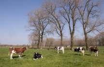 Koeien in weide.
