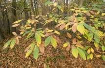 Bladeren van tamme kastanje.