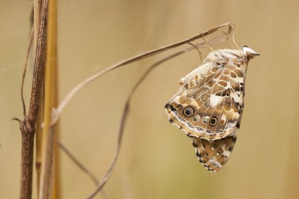 Distelvlinder