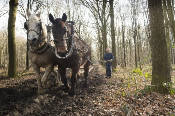 Werken met paard in het bos.