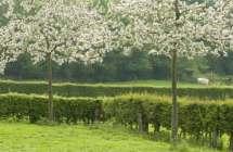 Bloei van hoogstamfruitboom.