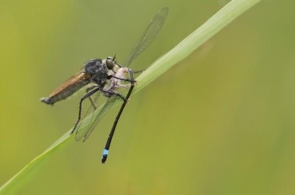 Geelbaardroofvlieg