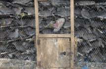Gevangen duiven te Senegal