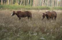 Begrazing door paarden.