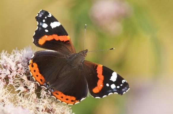 Atalanta of Nummervlinder